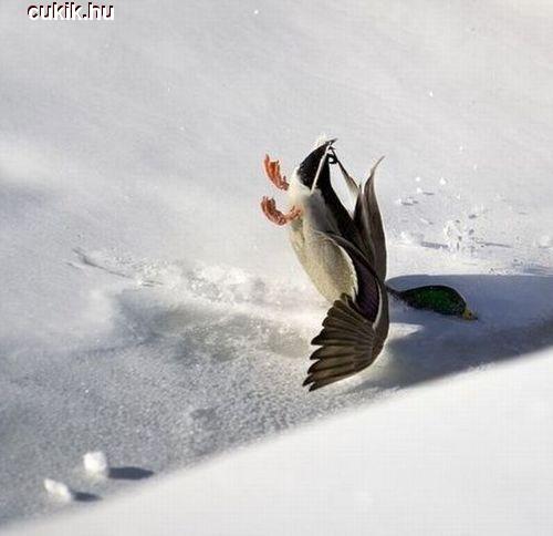 Szegény kacsa elcsúszott