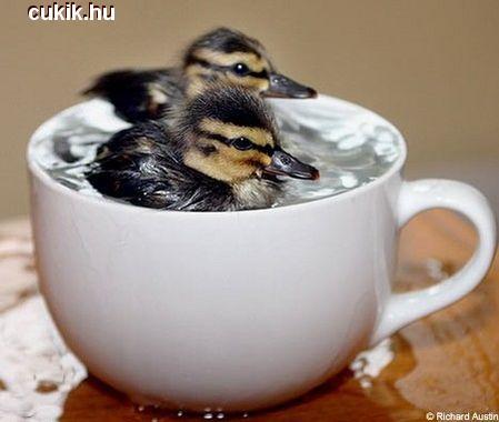 Kis kacsa fürdik